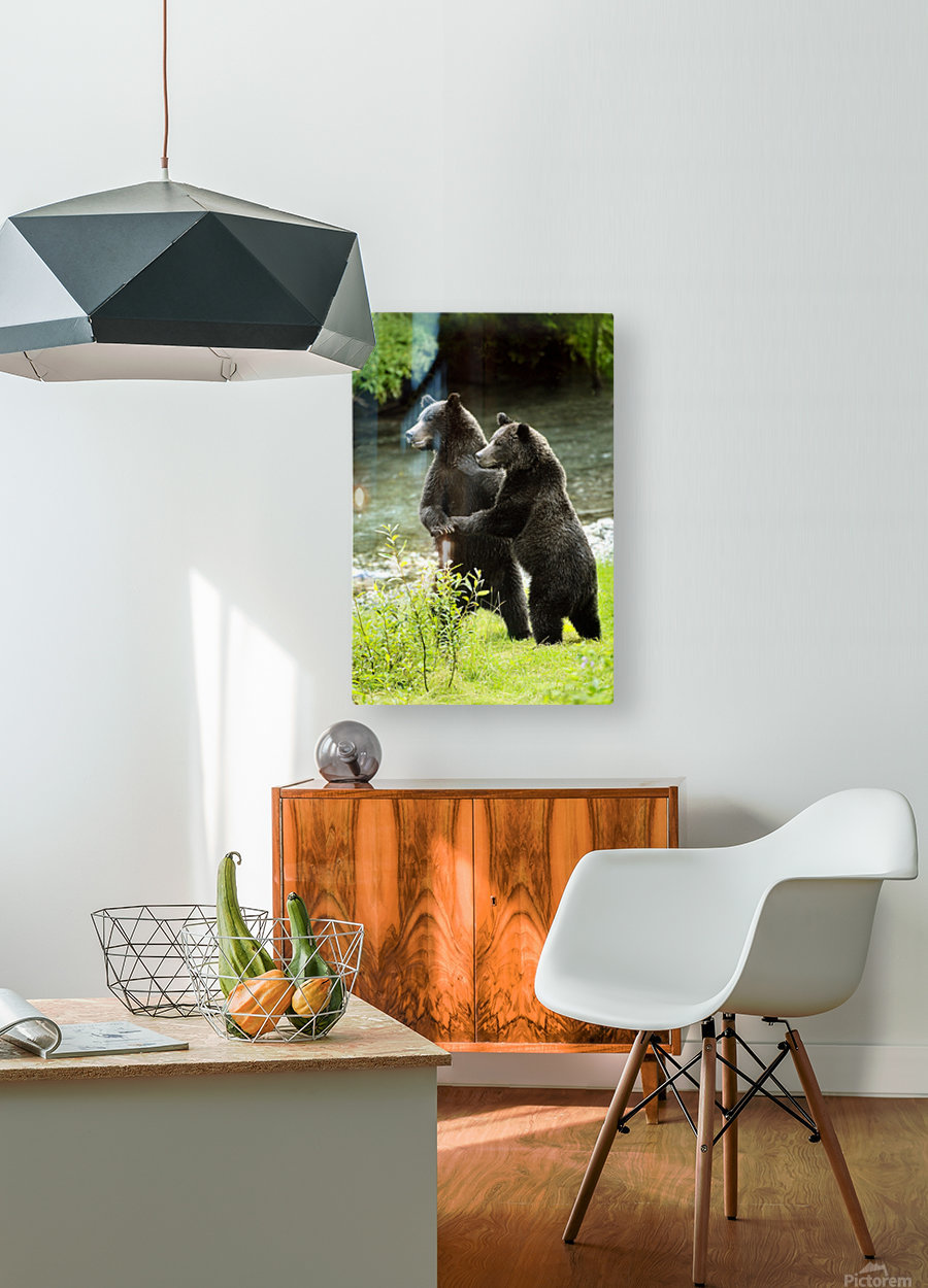 Two Grizzly Bears  HD Metal print with Floating Frame on Back