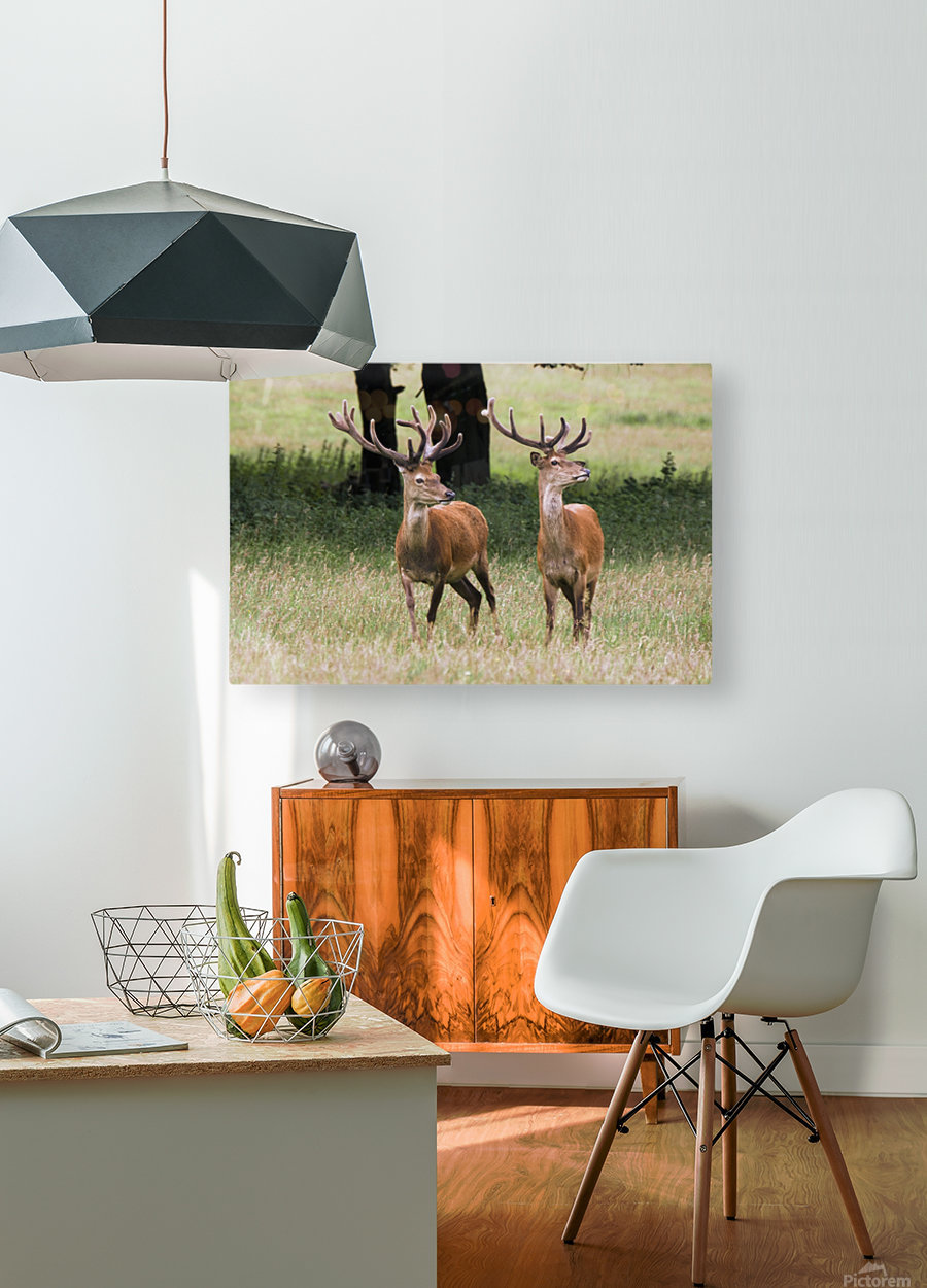 Elk In The Wild  HD Metal print with Floating Frame on Back