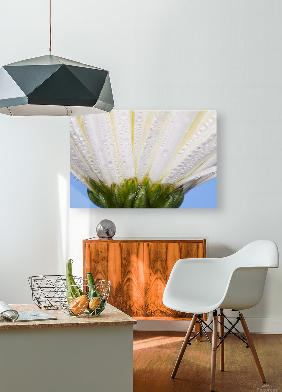 White Flower Head With Dew  HD Metal print with Floating Frame on Back