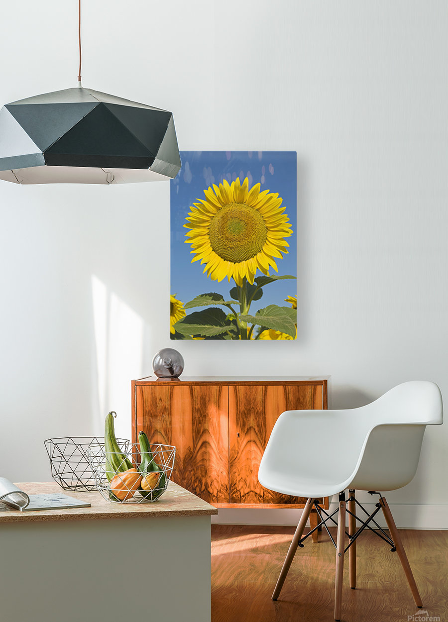 Sunflower (Helianthus Annuus)  HD Metal print with Floating Frame on Back