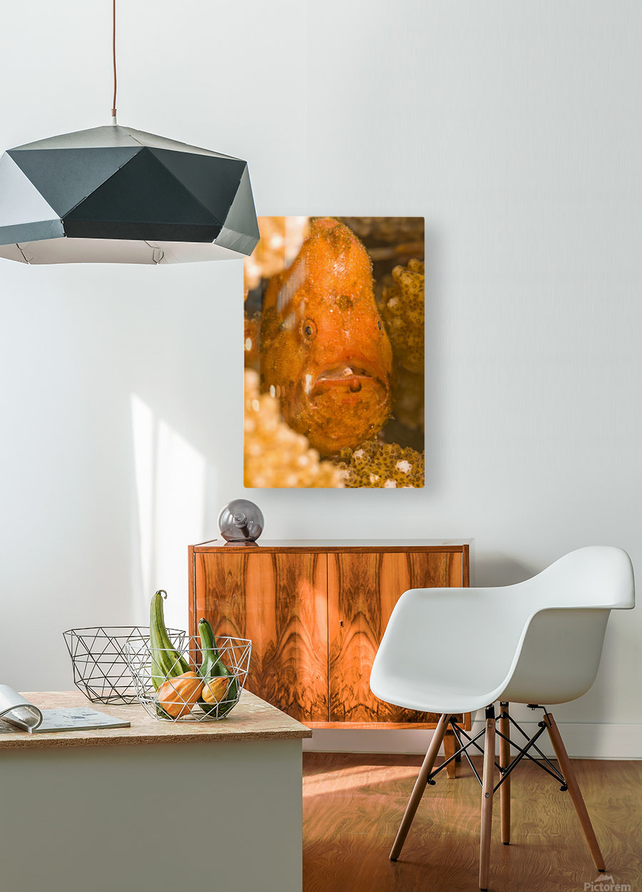 Spotfin Frogfish (Antennarius Nummifer)  HD Metal print with Floating Frame on Back