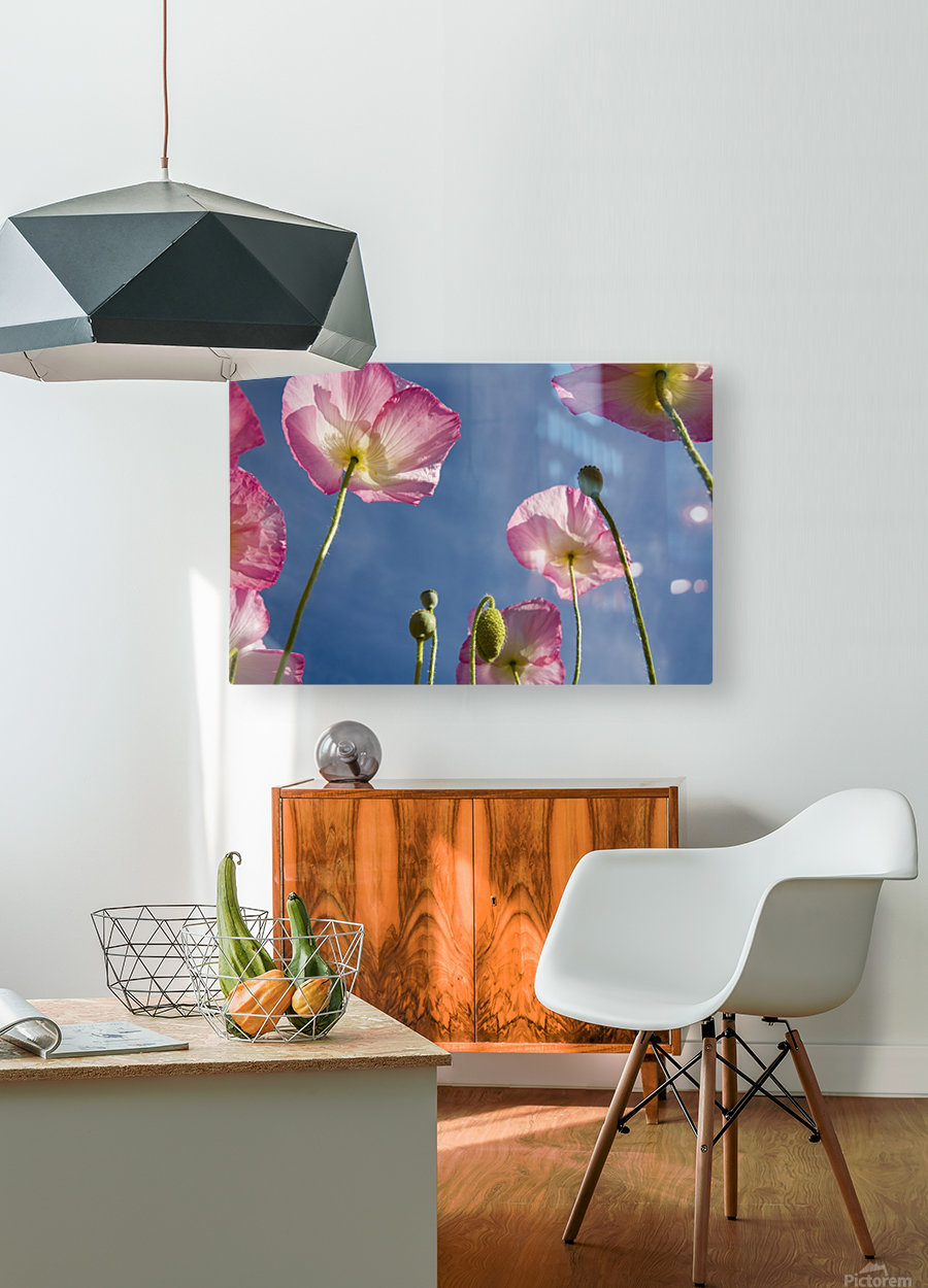 Shirley Poppies  HD Metal print with Floating Frame on Back