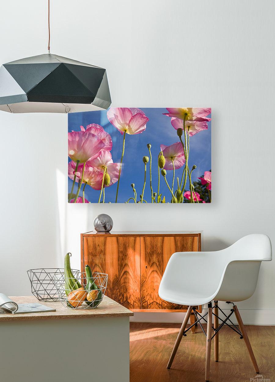 Shirley Poppies (Papaver Rhoeas), Oregon, Usa  HD Metal print with Floating Frame on Back