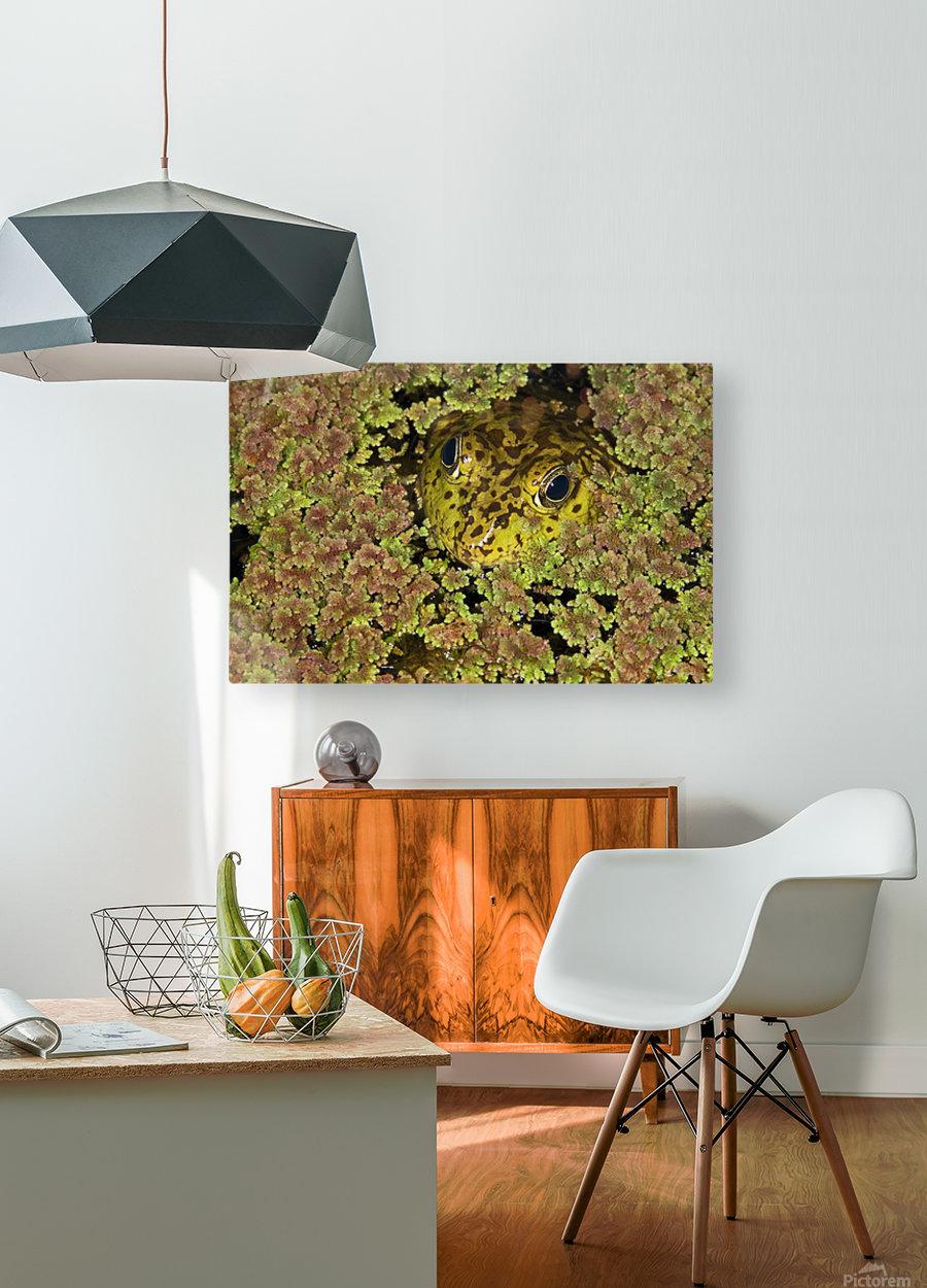 American Bullfrog (Rana Catesbeiana), California, Usa ; Bullfrog Hiding In Duckweed  HD Metal print with Floating Frame on Back