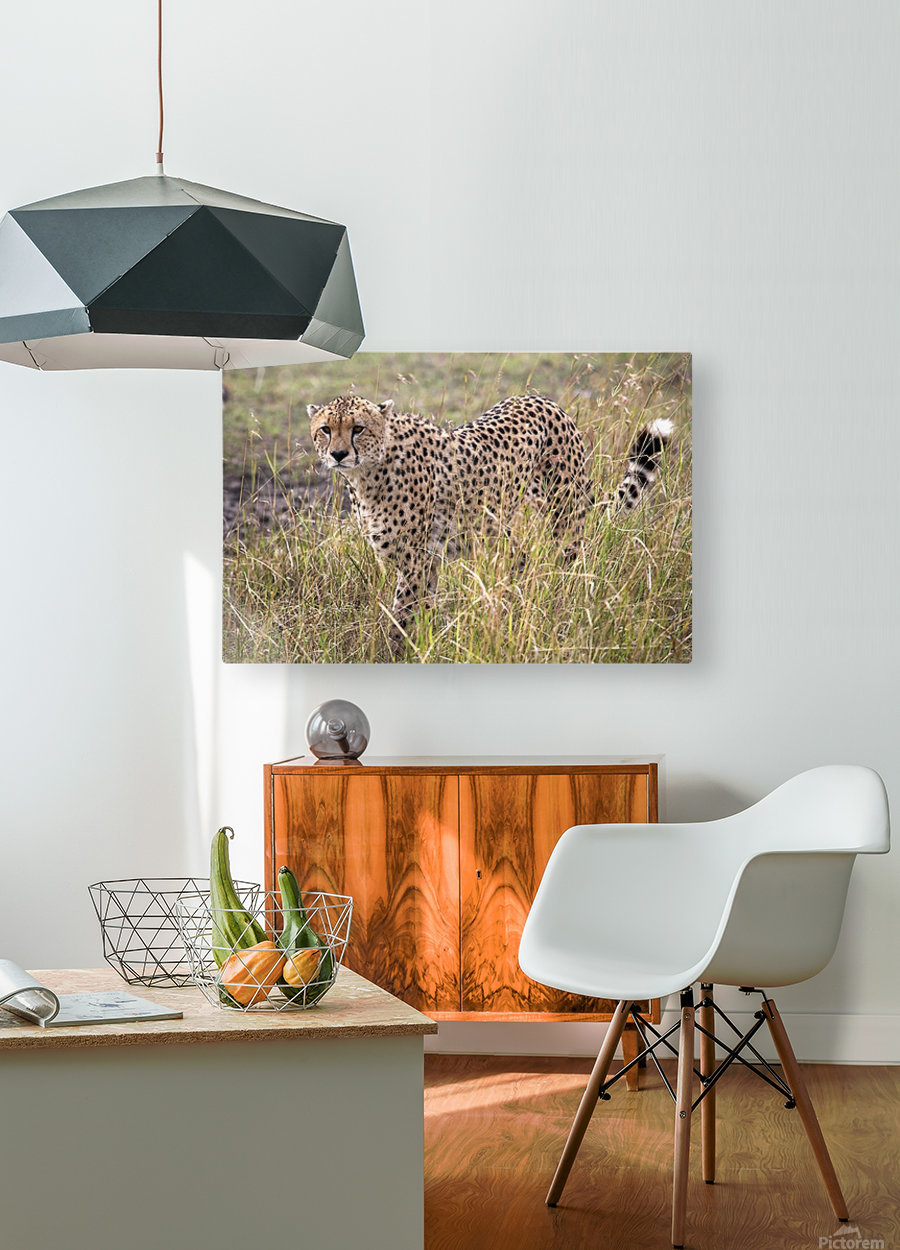 Cheetah (Acinonyx Jubatus), Masai Mara National Reserve, Kenya, Africa; Cheetah On The Prowl  HD Metal print with Floating Frame on Back