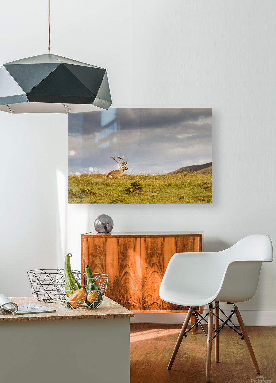 Island Of Islay, Scotland; Buck Resting On A Hill  HD Metal print with Floating Frame on Back