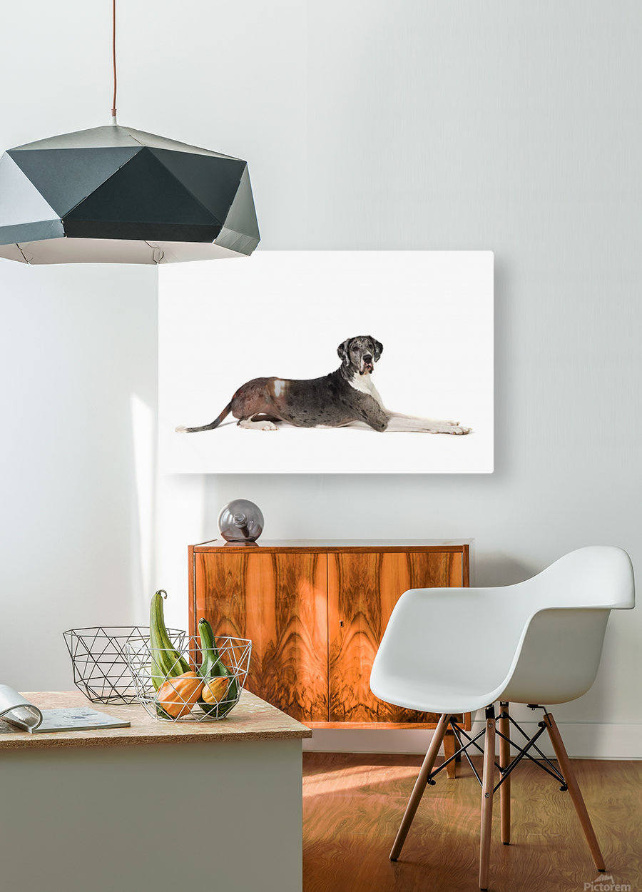 Great Dane Dog  HD Metal print with Floating Frame on Back
