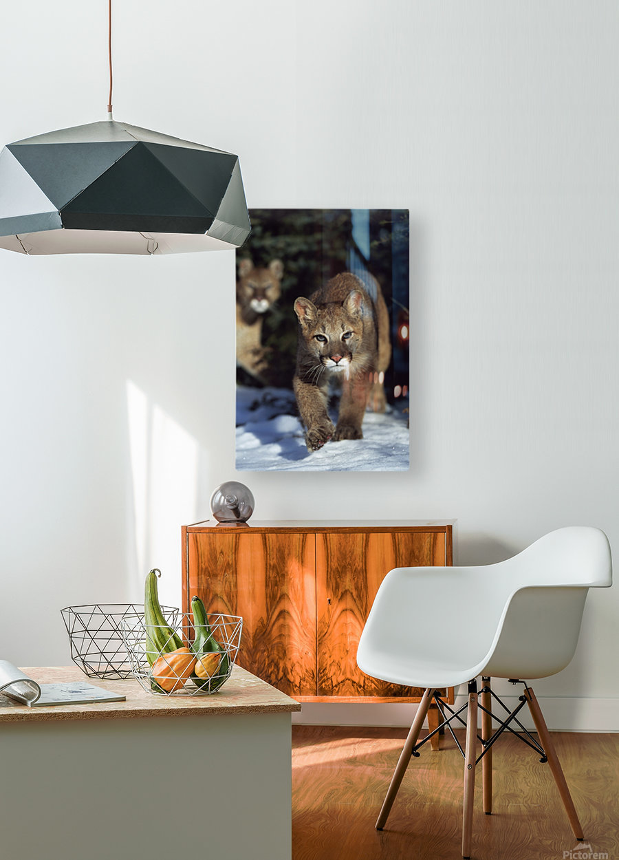Mountain lion cub (Felis concolor) walking on snow toward camera, mother in background; Montana, Usa  HD Metal print with Floating Frame on Back