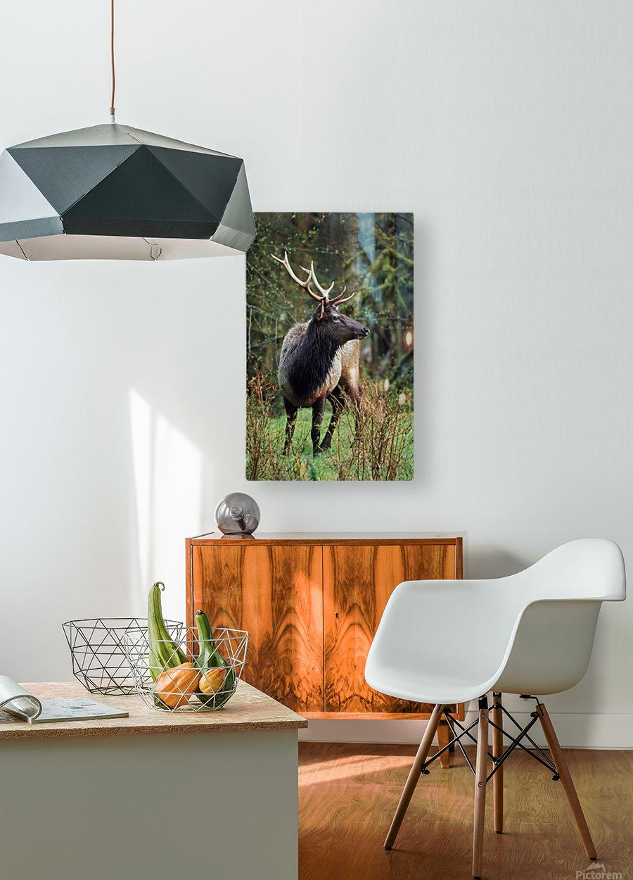 Roosevelt Elk (Cervus Canadensis Roosevelti); Olympic National Park, Washington, Usa  HD Metal print with Floating Frame on Back