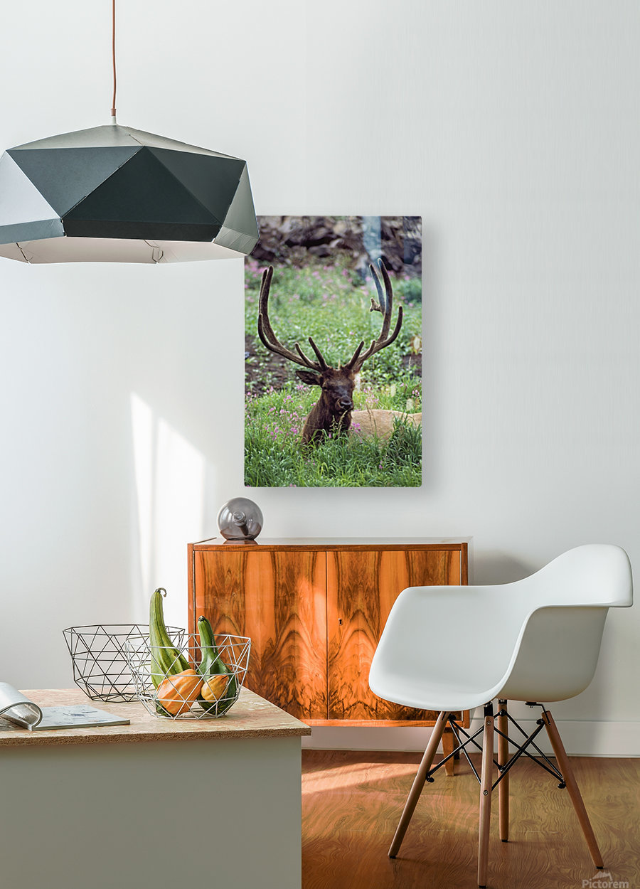 Bull Elk Resting In Alpine Meadow With Antlers In Velvet; Yellowstone National Park, Wyoming, Usa  HD Metal print with Floating Frame on Back