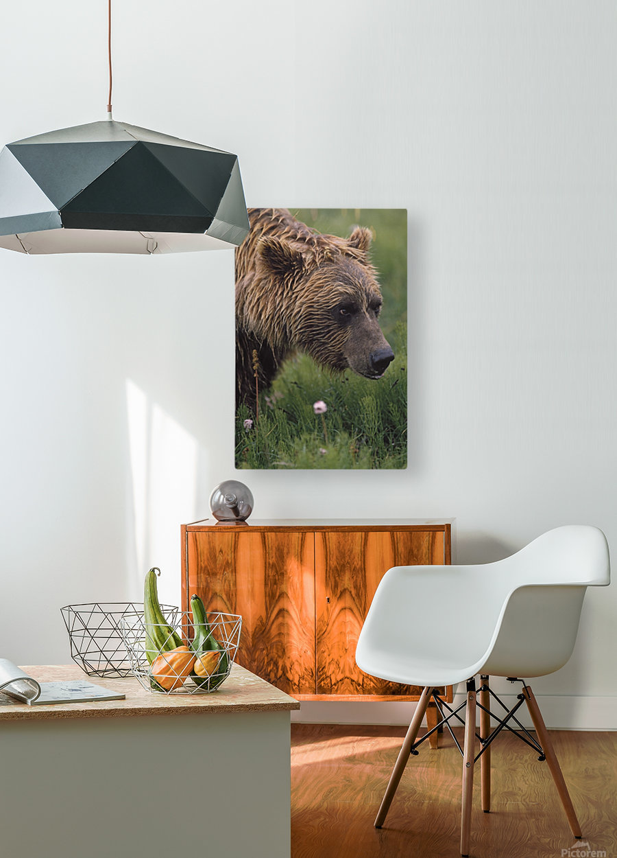 Grizzly Bear Wet From Rain  HD Metal print with Floating Frame on Back