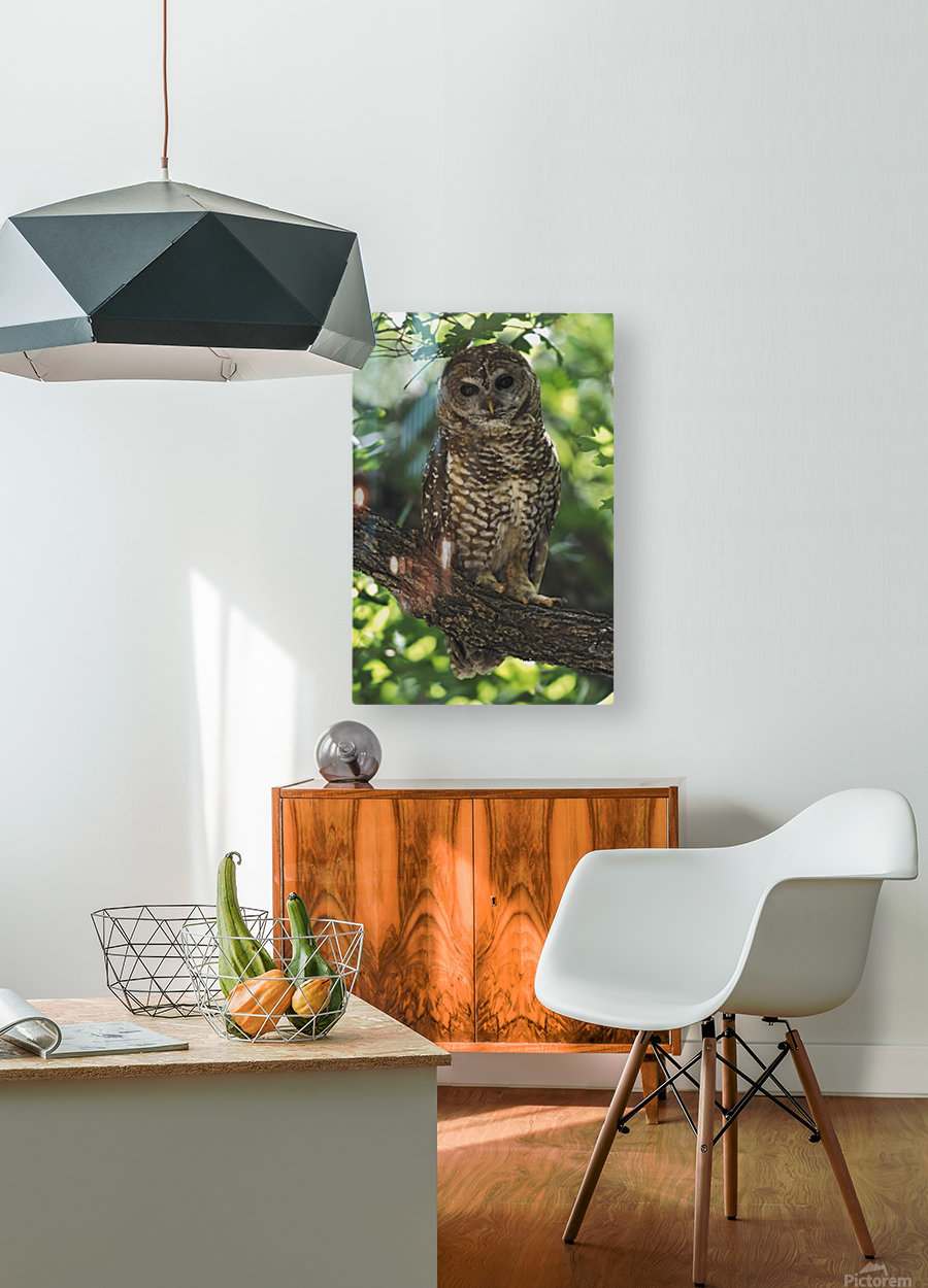 Mexican Spotted Owl On Perch In Gambel Oak  HD Metal print with Floating Frame on Back