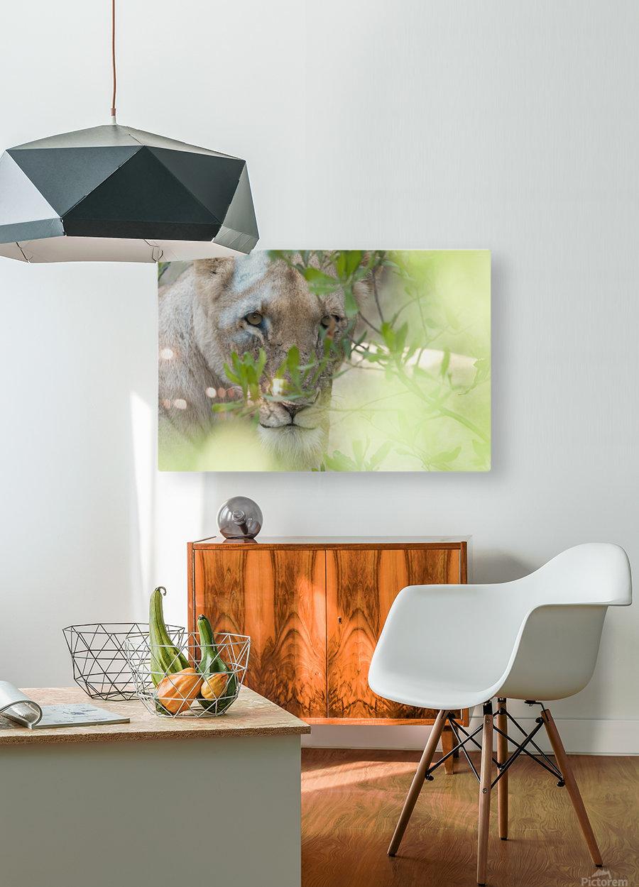 Lioness, Kenya, Africa  HD Metal print with Floating Frame on Back