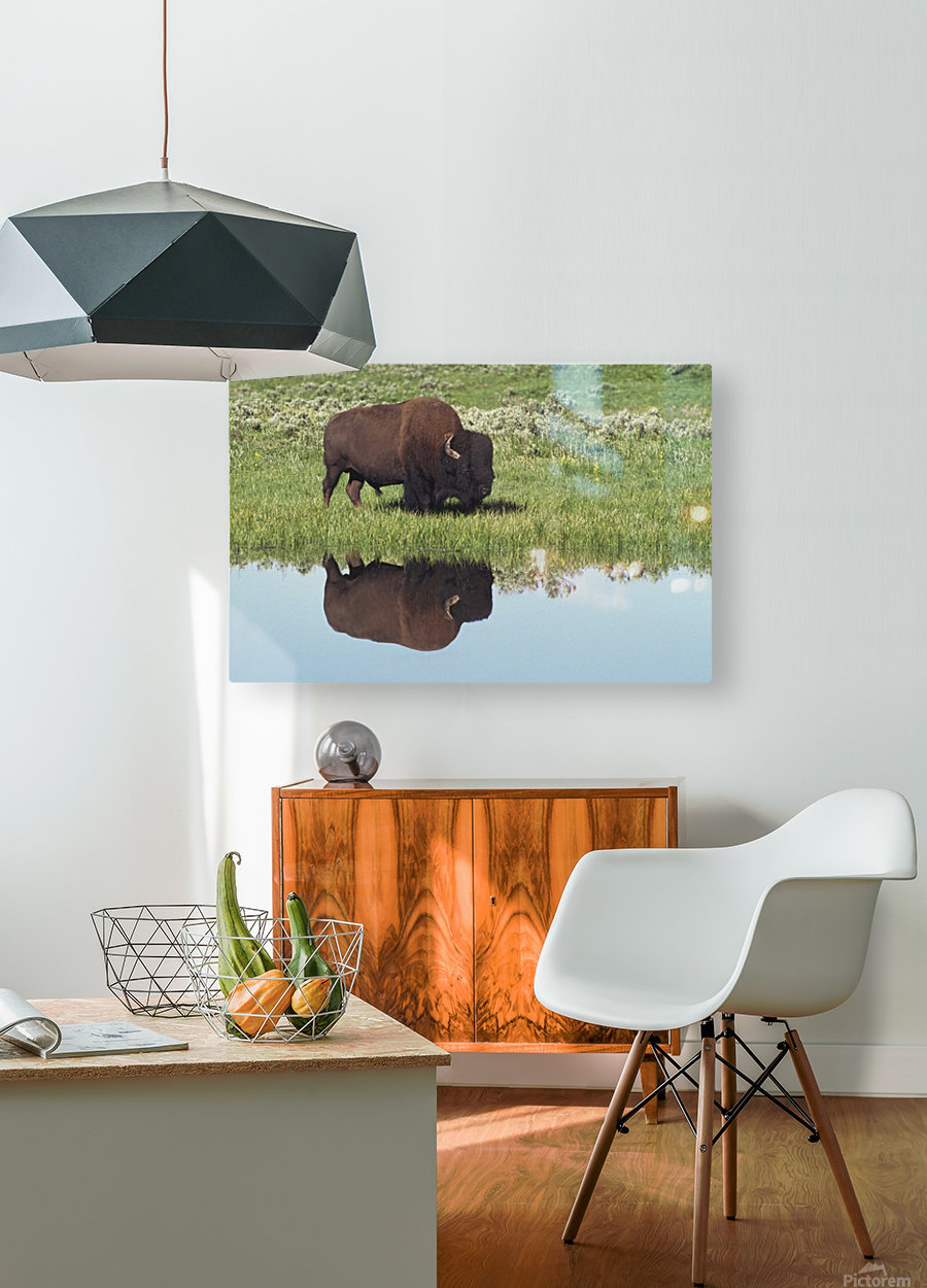 Bison (Bison Bison) On Grassy Meadow With Reflection In Pool  HD Metal print with Floating Frame on Back