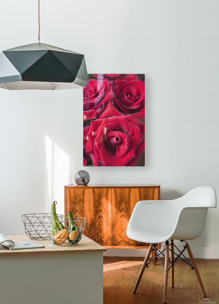 Red Roses; Quebec, Canada  HD Metal print with Floating Frame on Back