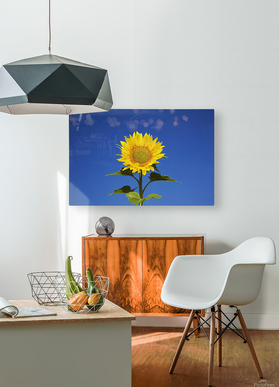 Laval, Quebec, Canada; Sunflower (Helianthus Annuus) Against A Blue Sky  HD Metal print with Floating Frame on Back