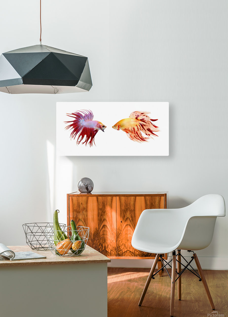 Two Colorful Fish With Long Fins  HD Metal print with Floating Frame on Back