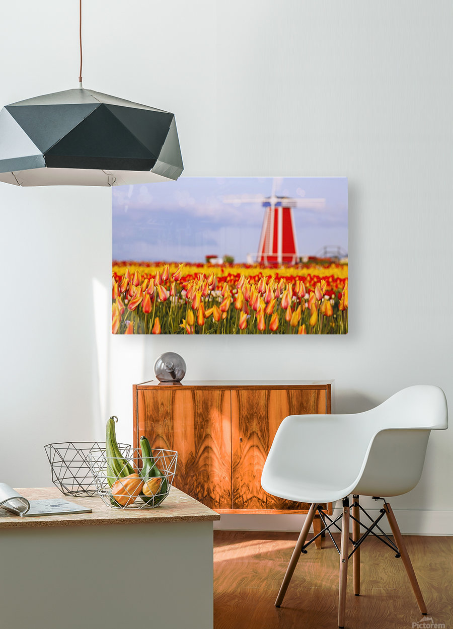 Woodburn, Oregon, United States Of America; A Field Of Tulips And A Windmill At Wooden Shoe Tulip Farm  HD Metal print with Floating Frame on Back
