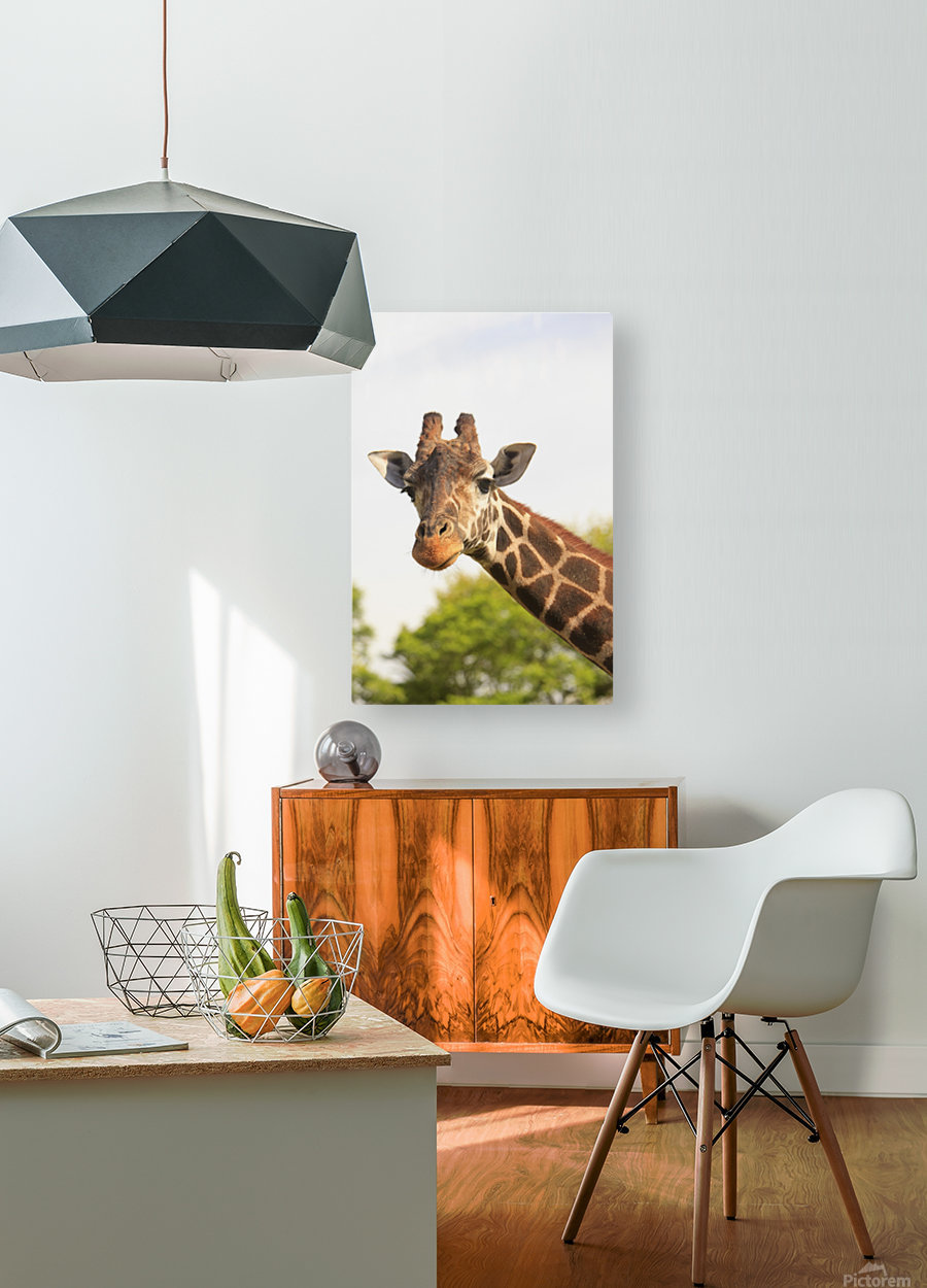 Buenos Aires, Argentina; Giraffe (Giraffa Camelopardalis) In Palermo Zoological Gardens  HD Metal print with Floating Frame on Back