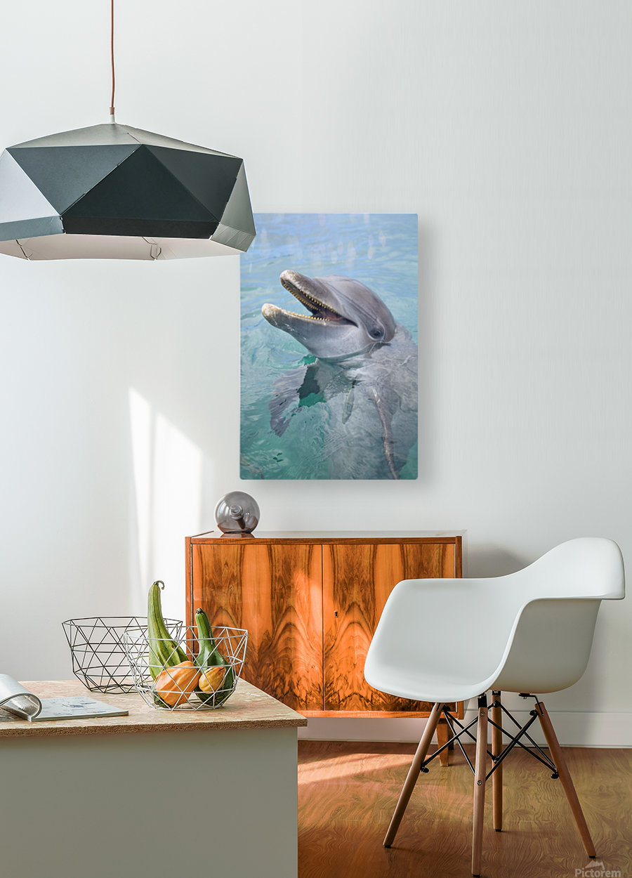 Roatan, Bay Islands, Honduras; A Bottlenose Dolphin (Tursiops Truncatus) In The Water At Anthony's Key Resort  HD Metal print with Floating Frame on Back