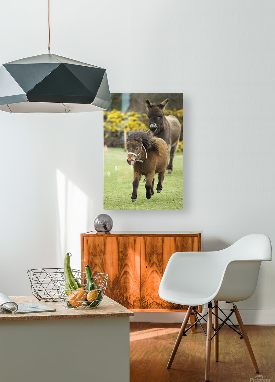 Northumberland, England; Two Ponies Running In A Field  HD Metal print with Floating Frame on Back