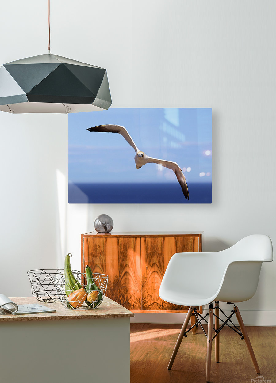 Gannet Flying Over The Water; Perce, Quebec, Canada  HD Metal print with Floating Frame on Back