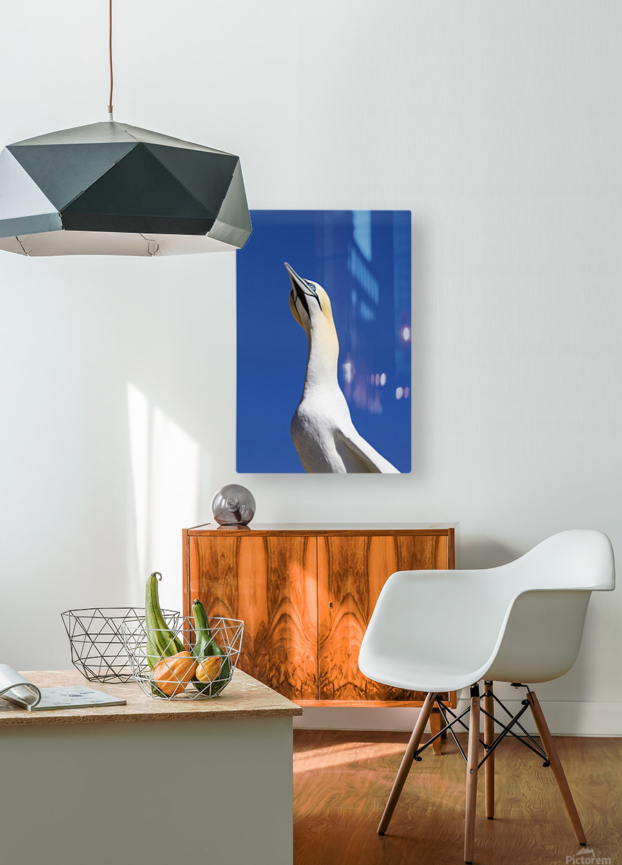 A Single Gannet Searches The Sky For Her Mate On Bonaventure Island; Perce, Quebec, Canada  HD Metal print with Floating Frame on Back
