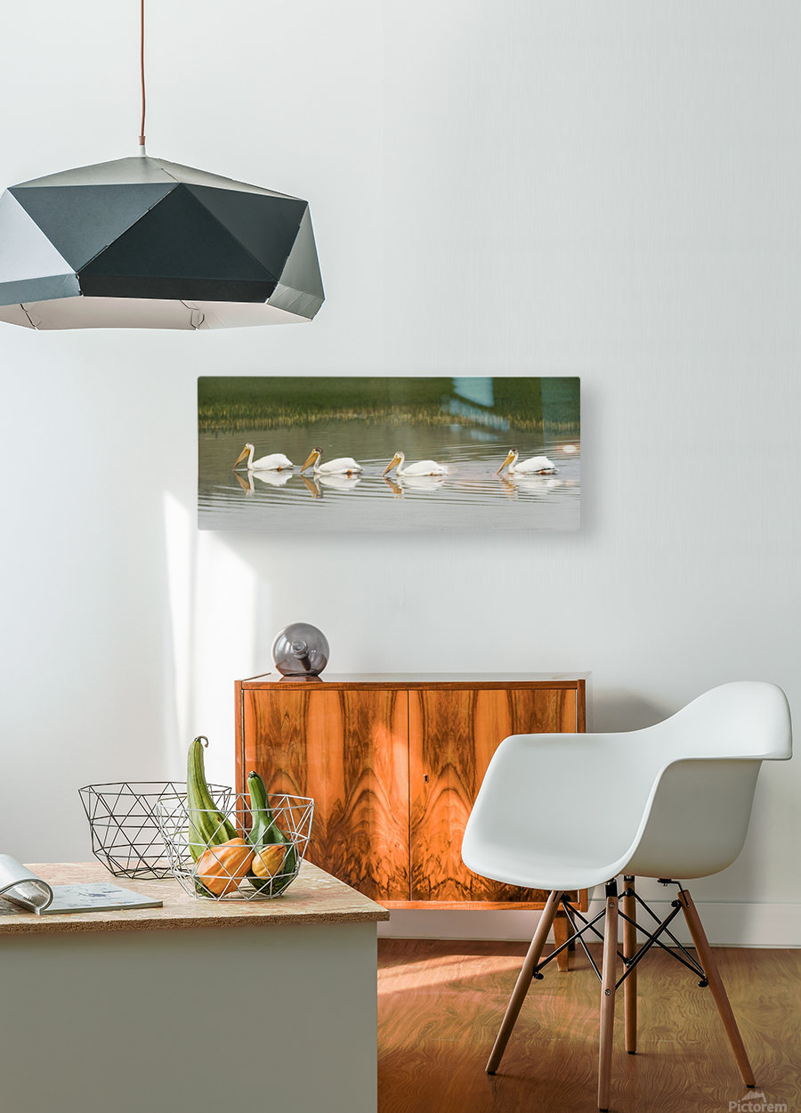 American White Pelicans Swim In A Line On The Yellowstone River; Wyoming, Usa  HD Metal print with Floating Frame on Back