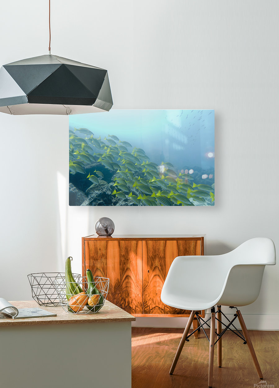 A School Of Fish Swimming Underwater; Galapagos, Equador  HD Metal print with Floating Frame on Back