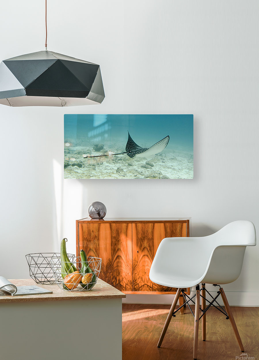 A Spotted Eagle Ray (Aetobatus Narinari)Under The Water; Galapagos, Equador  HD Metal print with Floating Frame on Back
