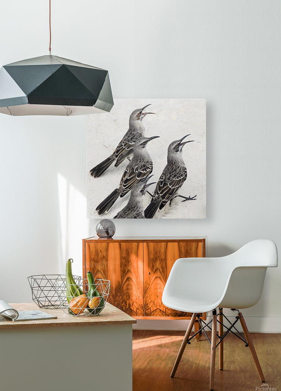 Mockingbirds (Mimidae); Galapagos, Equador  HD Metal print with Floating Frame on Back