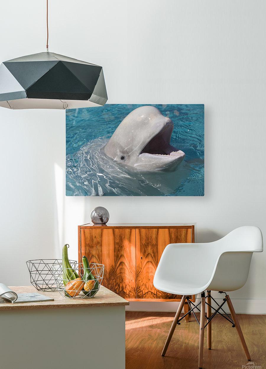 Beluga Whale In Captivity - Marineland - Niagara Falls, Ontario, Canada  HD Metal print with Floating Frame on Back