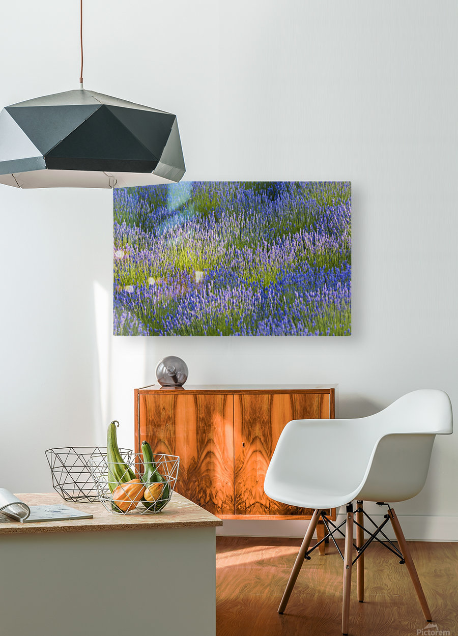 Rows of lavender plants in a field in the cowichan valley;Vancouver island british columbia canada  HD Metal print with Floating Frame on Back