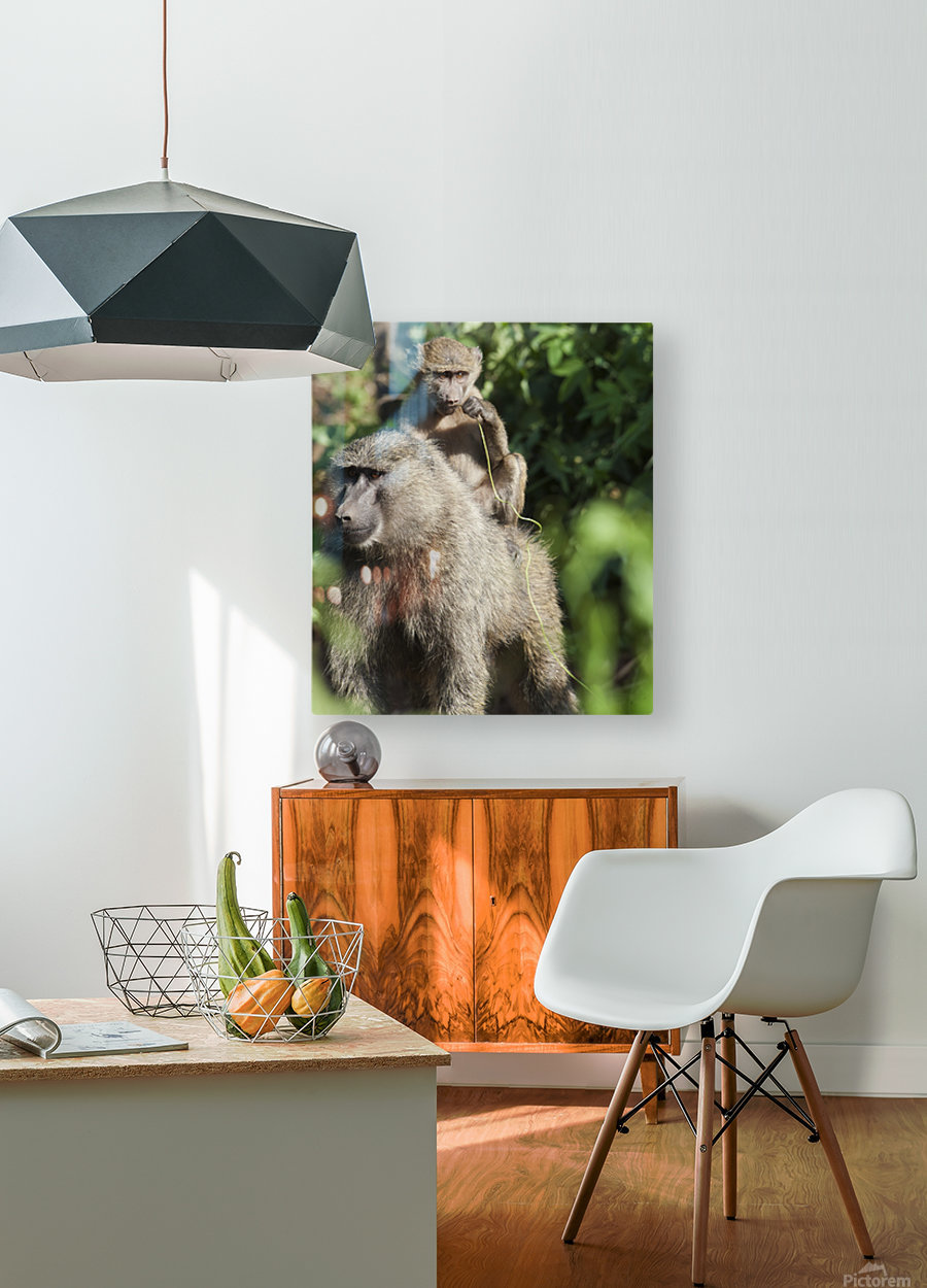 A monkey and it's baby sitting on her back in the maasai mara national reserve;Maasai mara kenya  HD Metal print with Floating Frame on Back