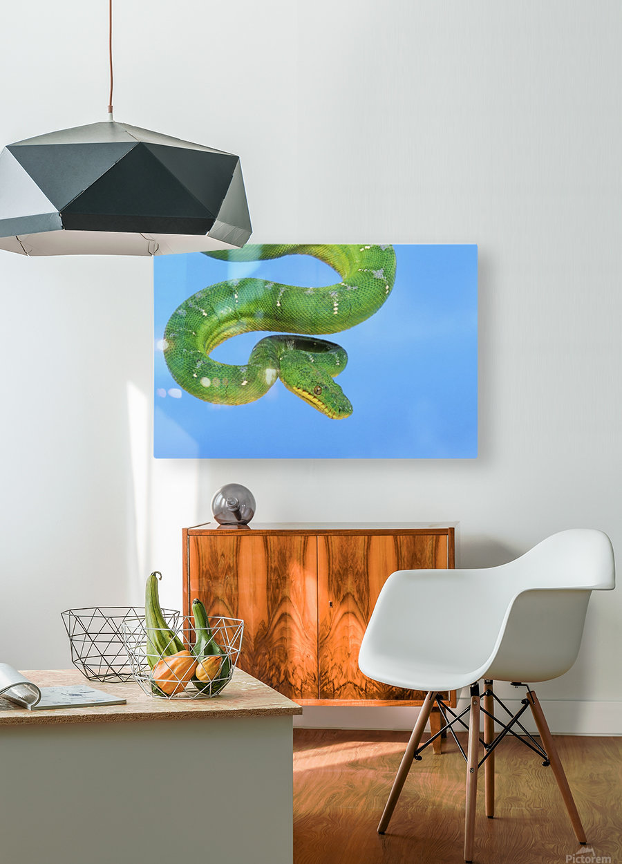 Emerald tree boa (corallus caninus) on a blue background;British columbia canada  HD Metal print with Floating Frame on Back