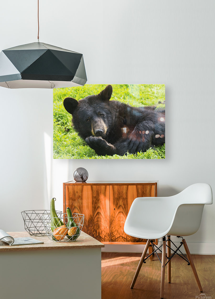 A black bear rolls around in the lush green grass  HD Metal print with Floating Frame on Back