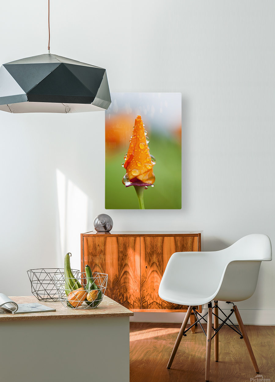 California poppy (Eschscholzia californica) remains closed in the rain; Astoria, Oregon, United States of America  HD Metal print with Floating Frame on Back