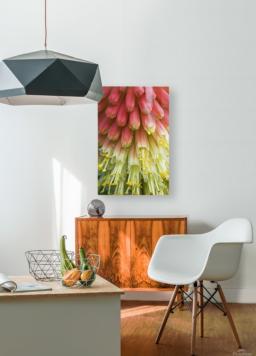 A red-hot poker plant blooms in a garden; Astoria, Oregon, United States of America  HD Metal print with Floating Frame on Back