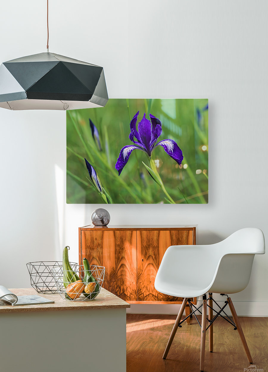 Oregon Iris (Iris tenax) blooms in the forest; Florence, Oregon, United States of America  HD Metal print with Floating Frame on Back