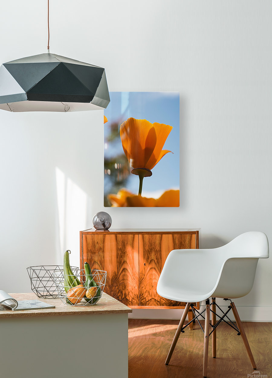 A california poppy (Eschscholzia californica) blooms in a garden against a blue sky; Astoria, Oregon, United States of America  HD Metal print with Floating Frame on Back