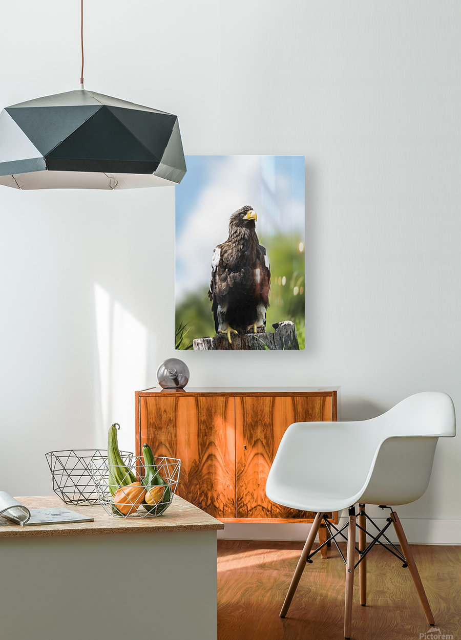 Golden Eagle, Assiniboine Park Zoo; Winnipeg, Manitoba, Canada  HD Metal print with Floating Frame on Back