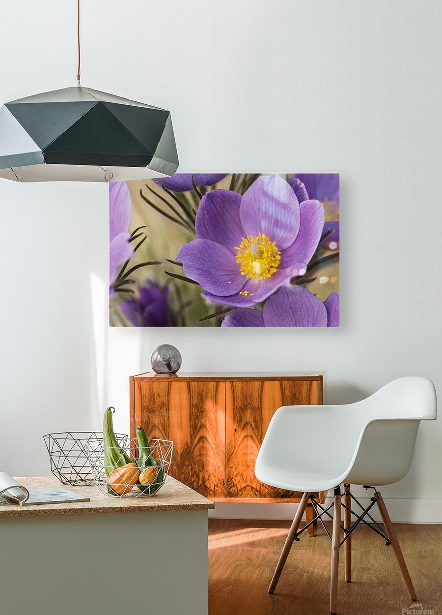 Crocus; Yukon, Canada  HD Metal print with Floating Frame on Back