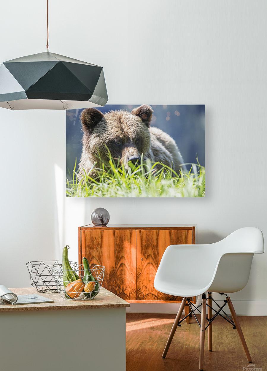 Grizzly Bear (Ursus Arctos Horribilis), Khutzymateen Sanctuary, near Prince Rupert; British Columbia, Canada  HD Metal print with Floating Frame on Back