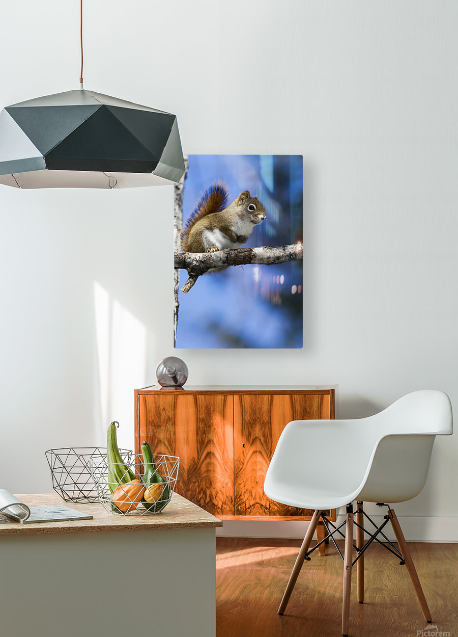 Eastern grey squirrel (Sciurus carolinensis) perched on a branch; Quebec, Canada  HD Metal print with Floating Frame on Back