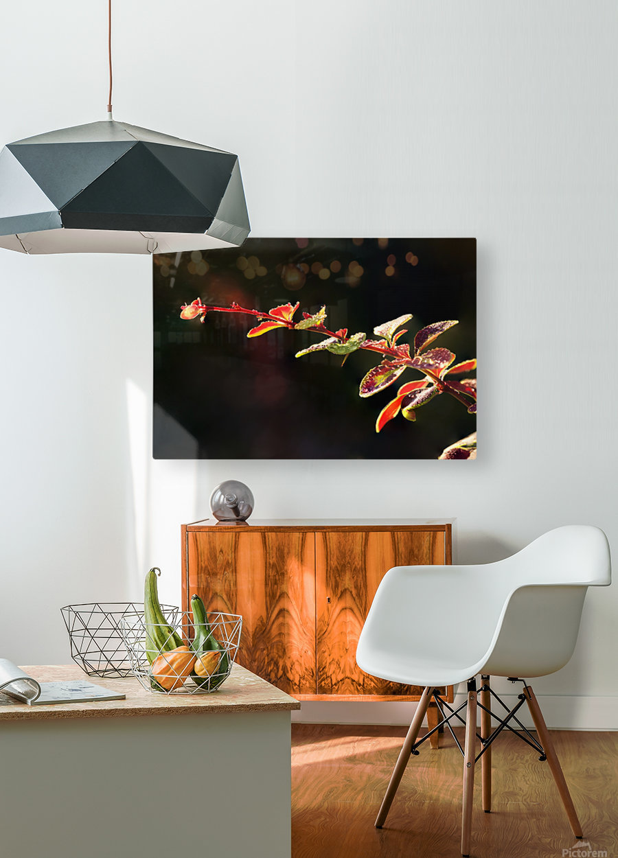 Close up of Berberis; Quebec, Canada  HD Metal print with Floating Frame on Back