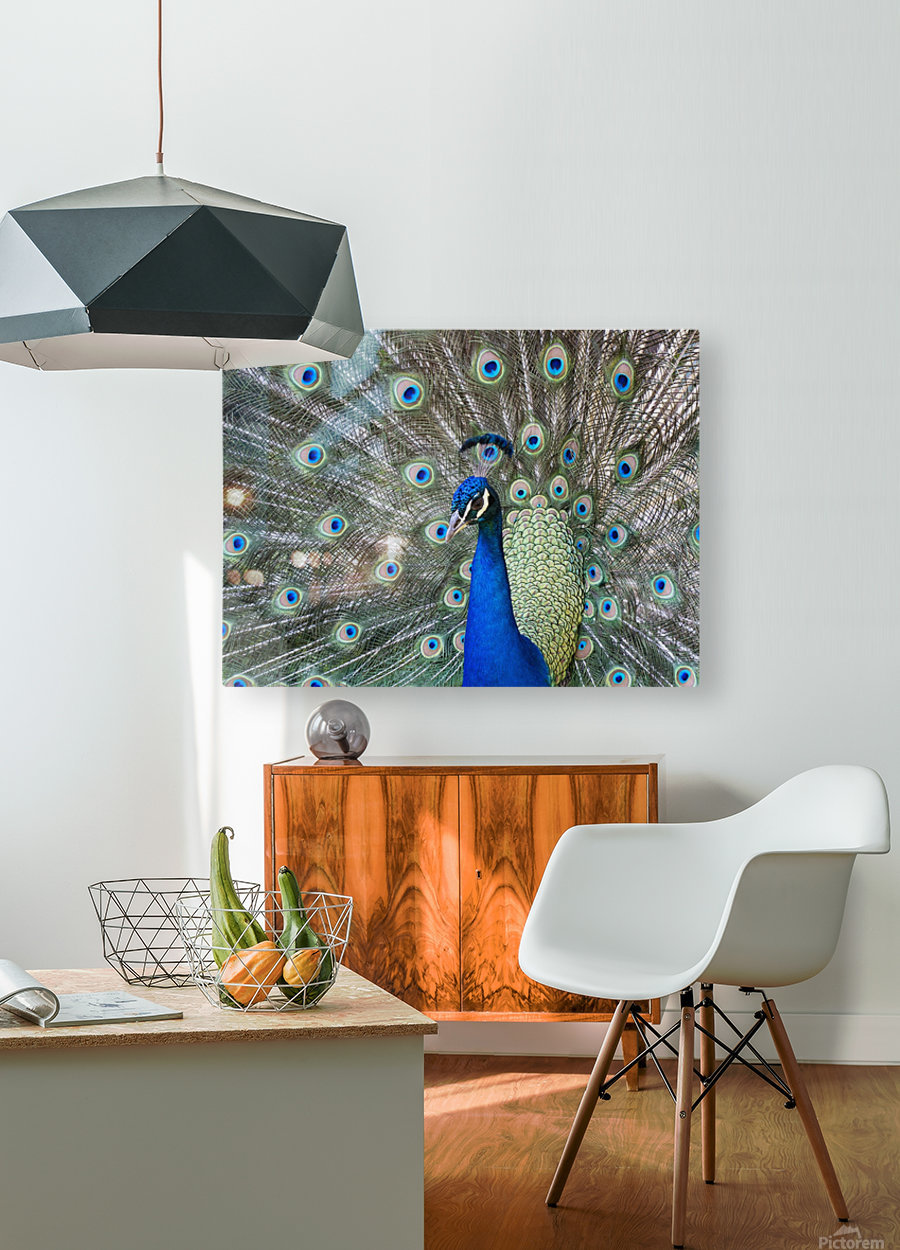Peacock in full display mode attempting to attract a mate; Santa Cruz, Bolivia  HD Metal print with Floating Frame on Back