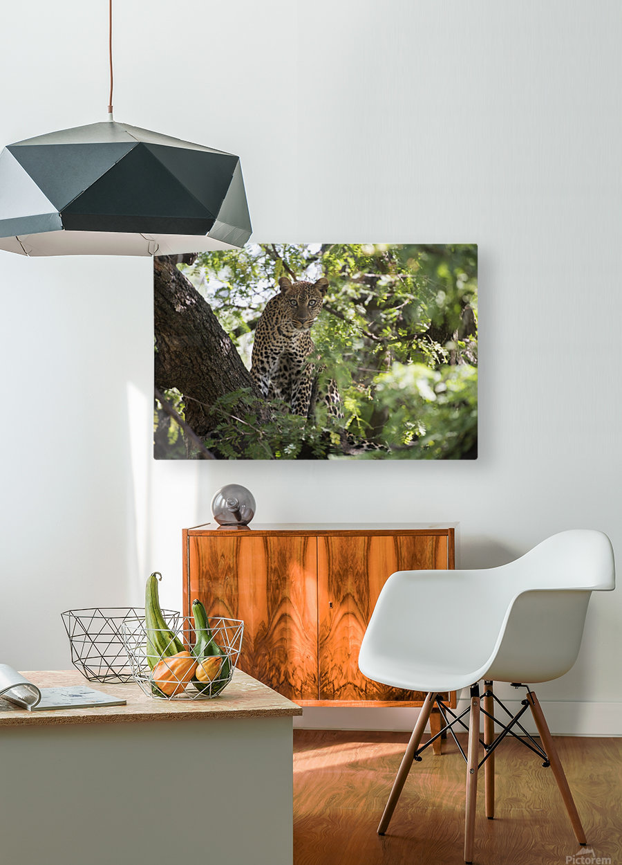 Leopard staring from tree in Lake Manyara National Park; Tanzania  HD Metal print with Floating Frame on Back