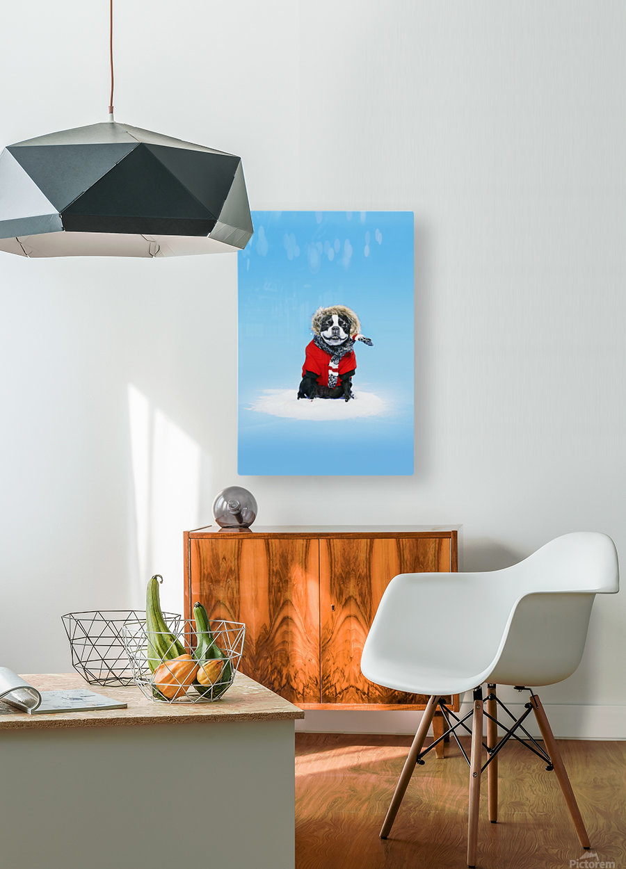 French bull terrier wearing jacket on blue background; Toronto, Ontario, Canada  HD Metal print with Floating Frame on Back