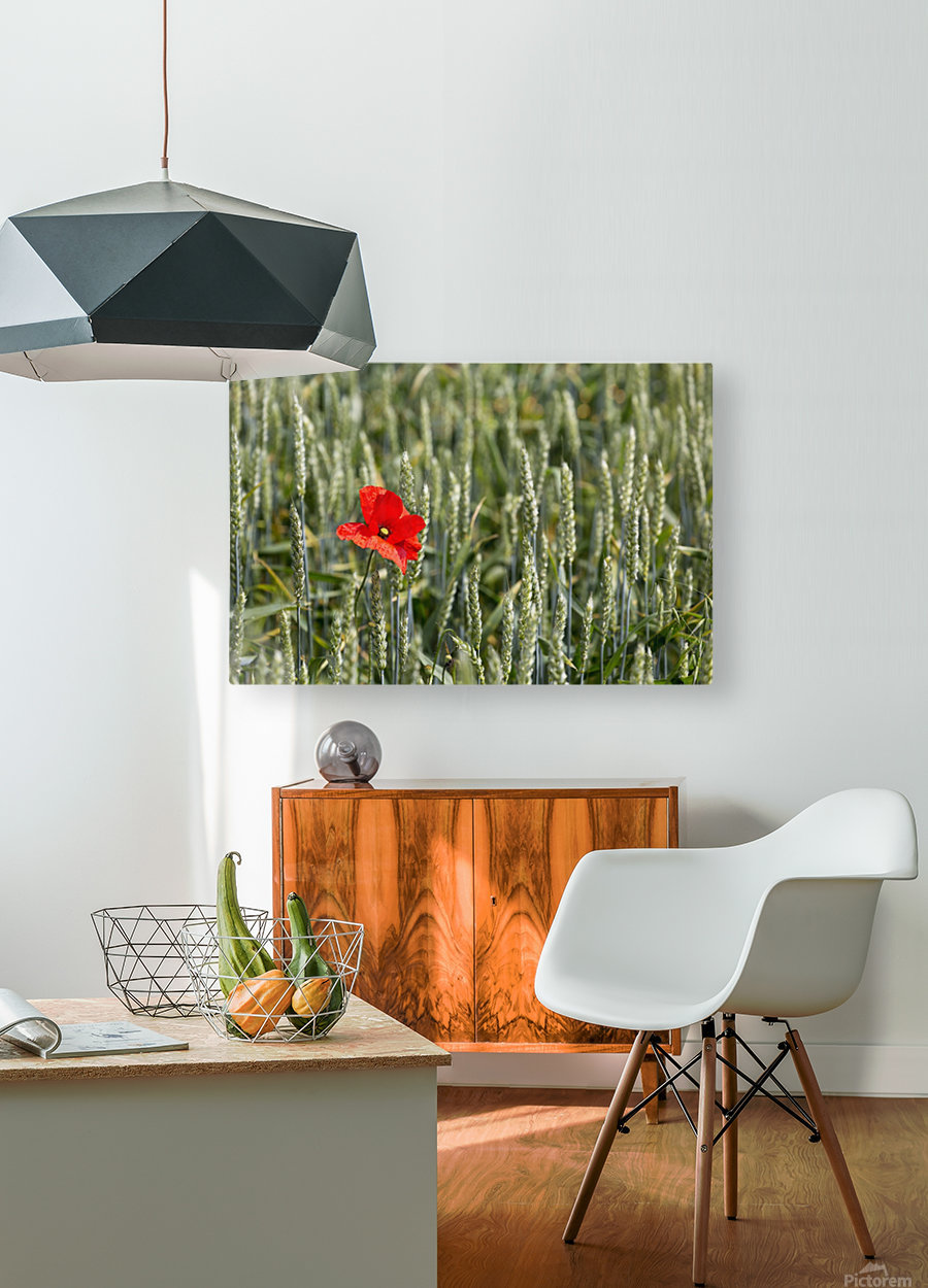 Close up of red poppy in a green wheat field; Brehec, Brittany, France  HD Metal print with Floating Frame on Back