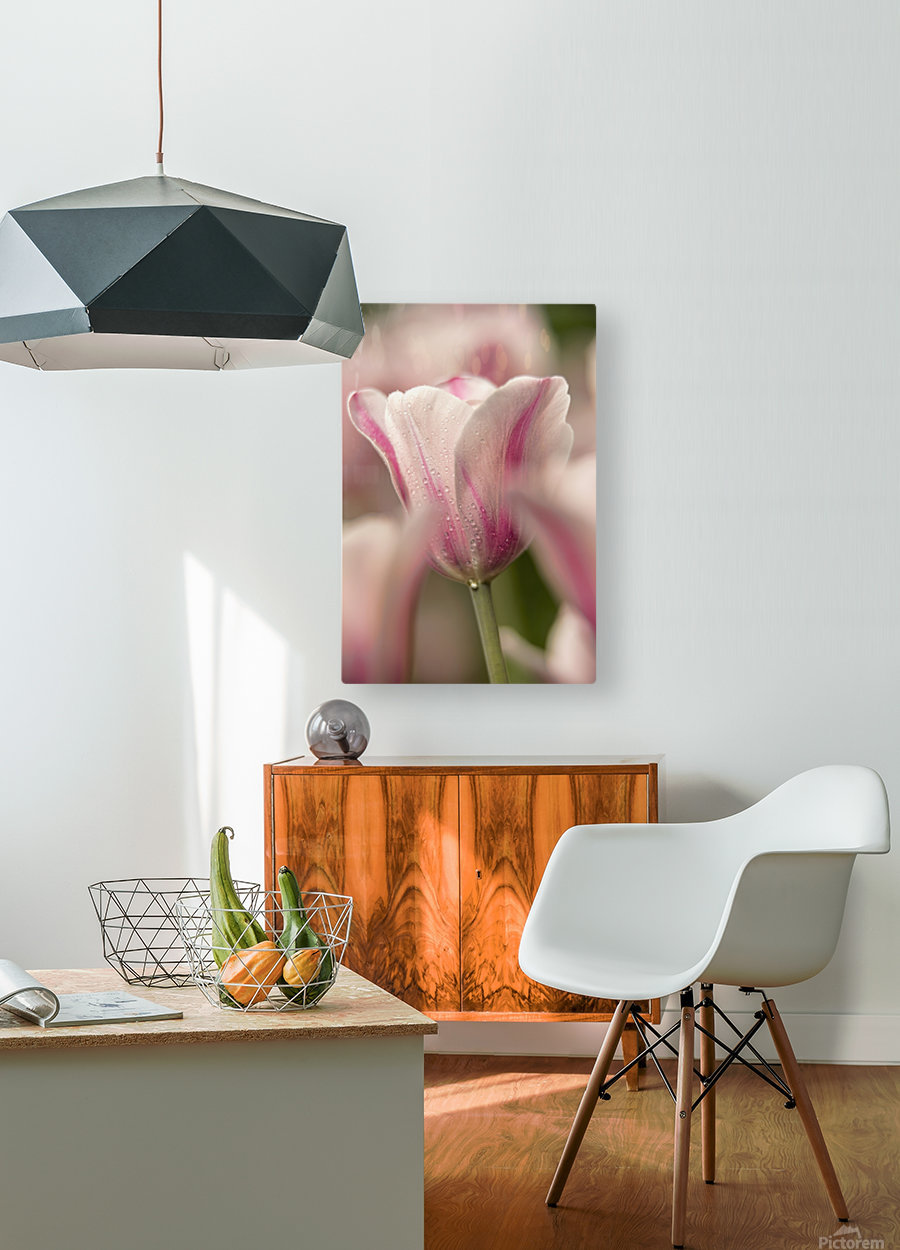 Triumph tulip, Inistress Mystic, (tulipa), Brooklyn Botanic Garden; Brooklyn, New York, United States of America  HD Metal print with Floating Frame on Back